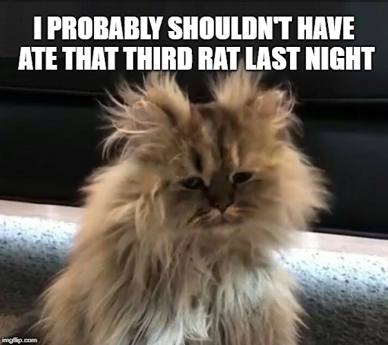 The Day After | I PROBABLY SHOULDN'T HAVE ATE THAT THIRD RAT LAST NIGHT | image tagged in funny cat,rats,well that escalated quickly,bad hair day,hangover | made w/ Imgflip meme maker