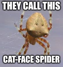 THEY CALL THIS CAT-FACE SPIDER | made w/ Imgflip meme maker