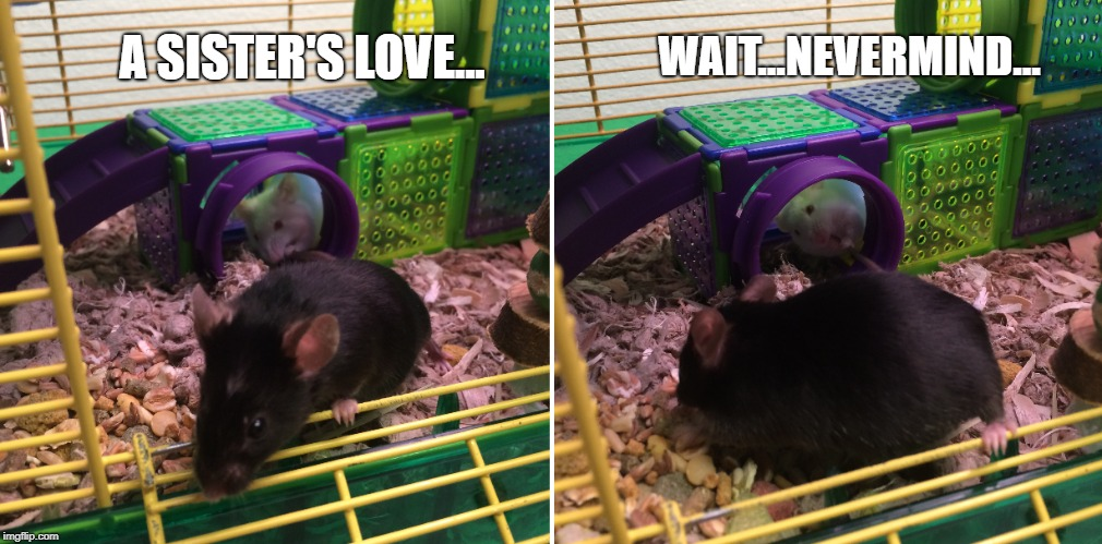 A sister's love... | A SISTER'S LOVE... WAIT...NEVERMIND... | image tagged in pets,mouse,sisters,sister,memes,cute | made w/ Imgflip meme maker
