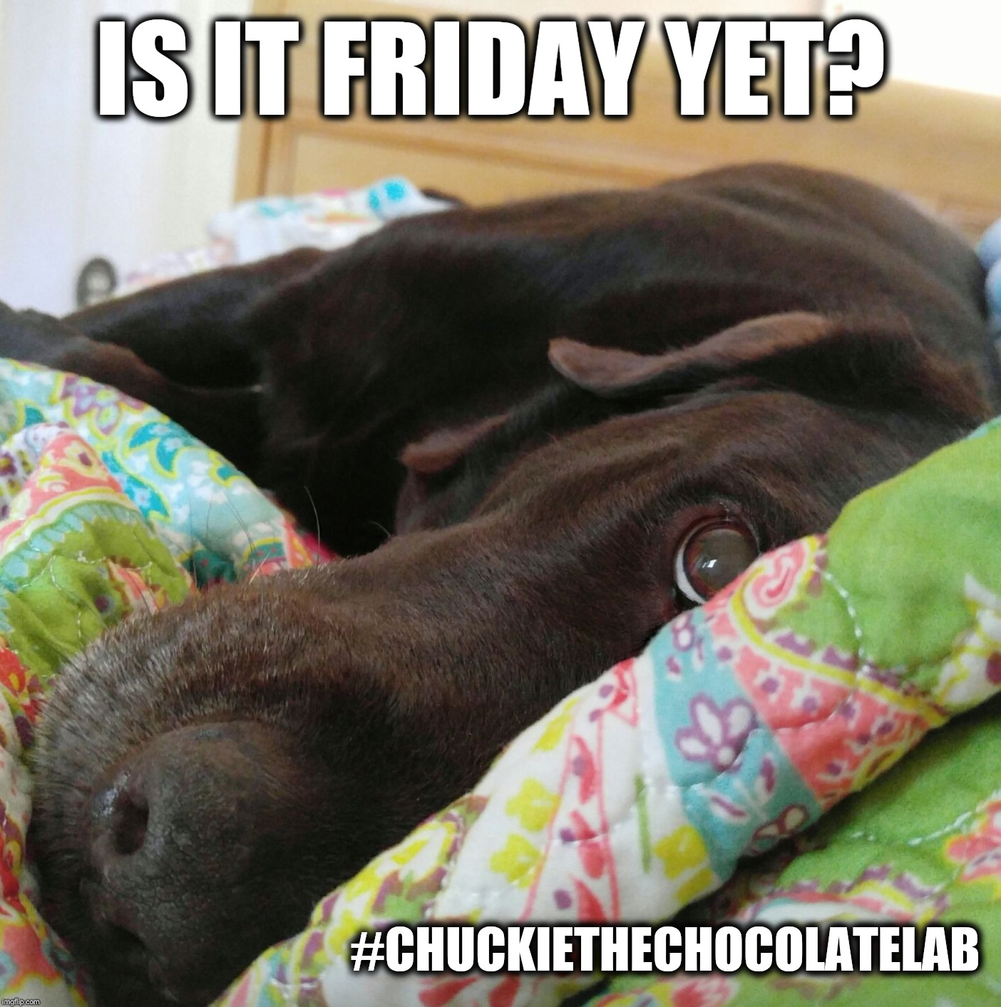 Is it Friday yet?  | IS IT FRIDAY YET? #CHUCKIETHECHOCOLATELAB | image tagged in chuckie the chocolate lab teamchuckie,friday,dogs,cute,memes,dog | made w/ Imgflip meme maker