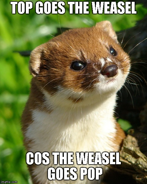 Weasel |  TOP GOES THE WEASEL; COS THE WEASEL GOES POP | image tagged in weasel | made w/ Imgflip meme maker