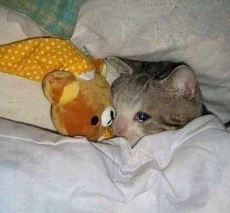 crying kitten Blank Template - Imgflip