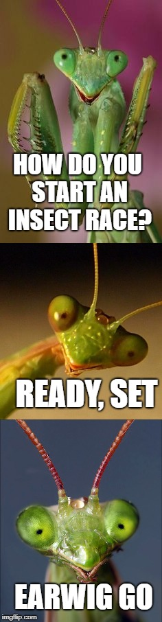 Bad Pun Mantis | HOW DO YOU START AN INSECT RACE? READY, SET EARWIG GO | image tagged in bad pun,praying mantis,mantis | made w/ Imgflip meme maker