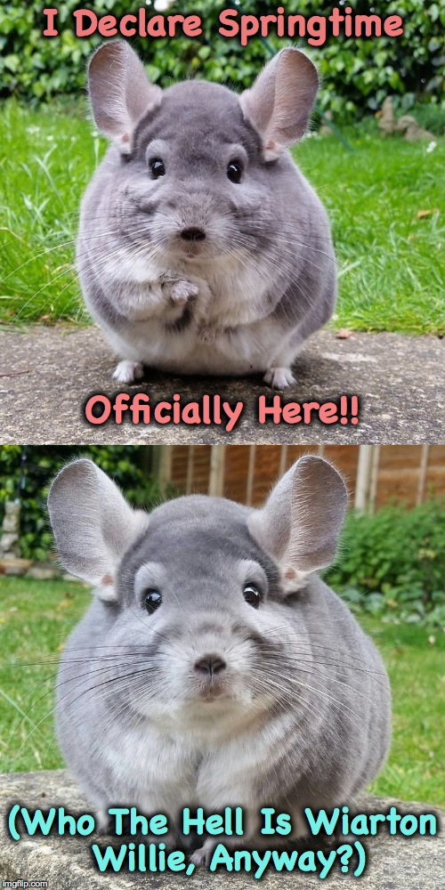 Catastrophically Cute Chinchilla Has An Announcement To Make :-) | I Declare Springtime (Who The Hell Is Wiarton Willie, Anyway?) Officially Here!! | image tagged in spring is here | made w/ Imgflip meme maker