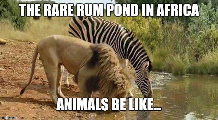 THE RARE RUM POND IN AFRICA ANIMALS BE LIKE... | image tagged in lion and zebra | made w/ Imgflip meme maker