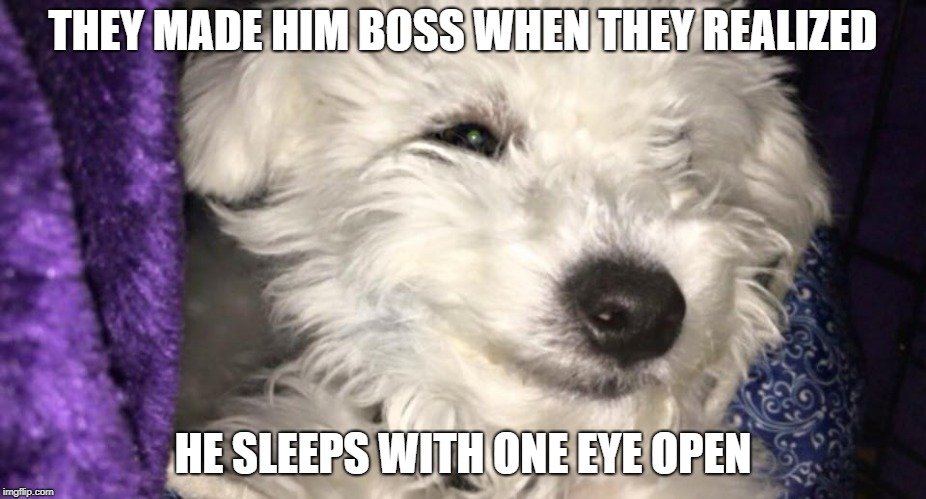 THEY MADE HIM BOSS WHEN THEY REALIZED HE SLEEPS WITH ONE EYE OPEN | image tagged in bean the bichon | made w/ Imgflip meme maker