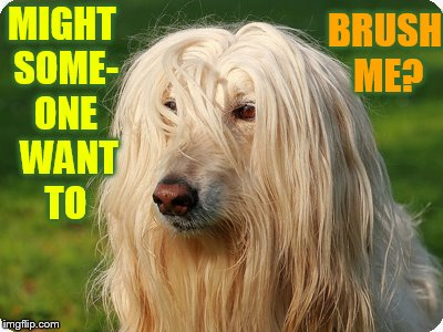 Dog Week a Landon_the_memer, and Nikkobellic event. May 1 to May 8....My First is Bed Head. | MIGHT SOME- ONE  WANT TO BRUSH ME? | image tagged in memes,dog week,dog,bed,head,bad hair day | made w/ Imgflip meme maker