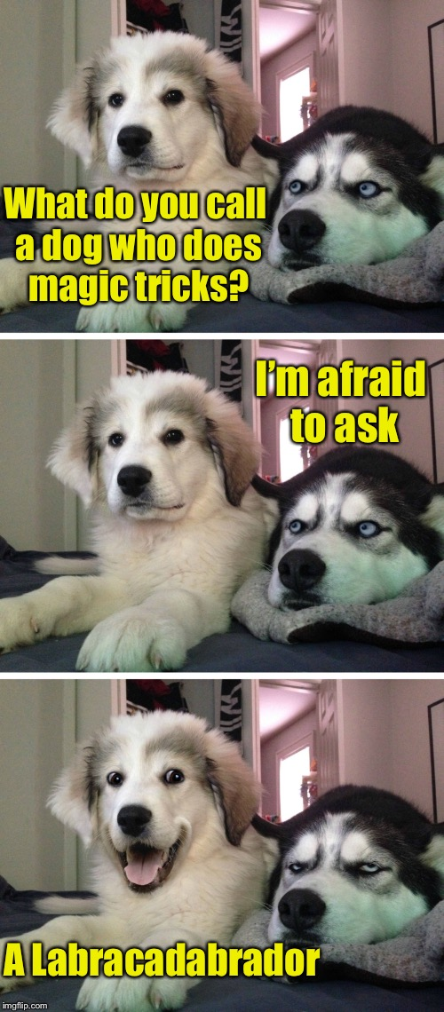 Dog week May 1st to May 8th a Landon_the_memer and NikkoBellic event | What do you call a dog who does magic tricks? A Labracadabrador I'm afraid to ask | image tagged in bad pun dogs,memes,dog week | made w/ Imgflip meme maker