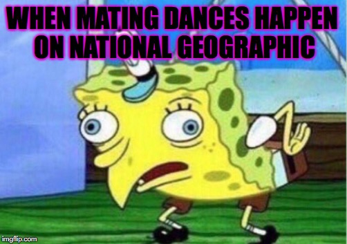 Mocking Spongebob Meme | WHEN MATING DANCES HAPPEN ON NATIONAL GEOGRAPHIC | image tagged in memes,mocking spongebob | made w/ Imgflip meme maker