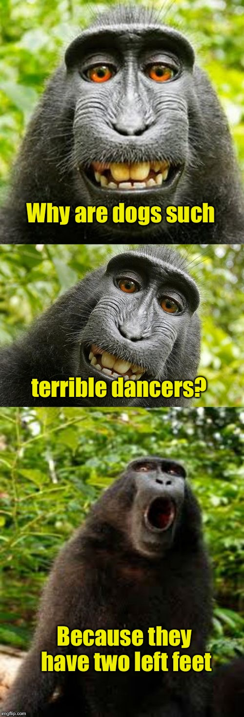 Dog week May 1-8, a Landon_the_memer and NikkoBellic event | Why are dogs such Because they have two left feet terrible dancers? | image tagged in bad pun monkey,memes,dog week,bad pun | made w/ Imgflip meme maker