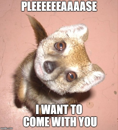 Adorable begging mongoose | PLEEEEEEAAAASE I WANT TO COME WITH YOU | image tagged in mongoose,cute | made w/ Imgflip meme maker