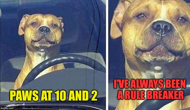 DDD.  Designated dog driver. | PAWS AT 10 AND 2 I'VE ALWAYS BEEN A RULE BREAKER | image tagged in dog week,dogs,memes,funny | made w/ Imgflip meme maker