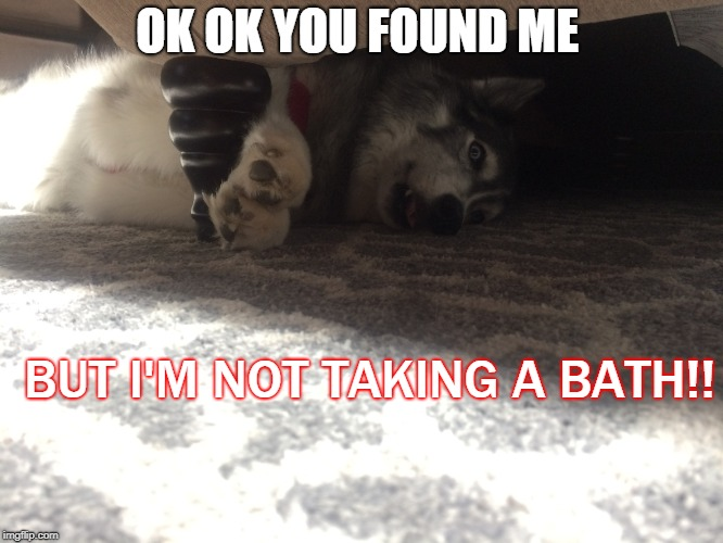 Huskies Hate Water  | OK OK YOU FOUND ME BUT I'M NOT TAKING A BATH!! | image tagged in husky,dog,funny | made w/ Imgflip meme maker