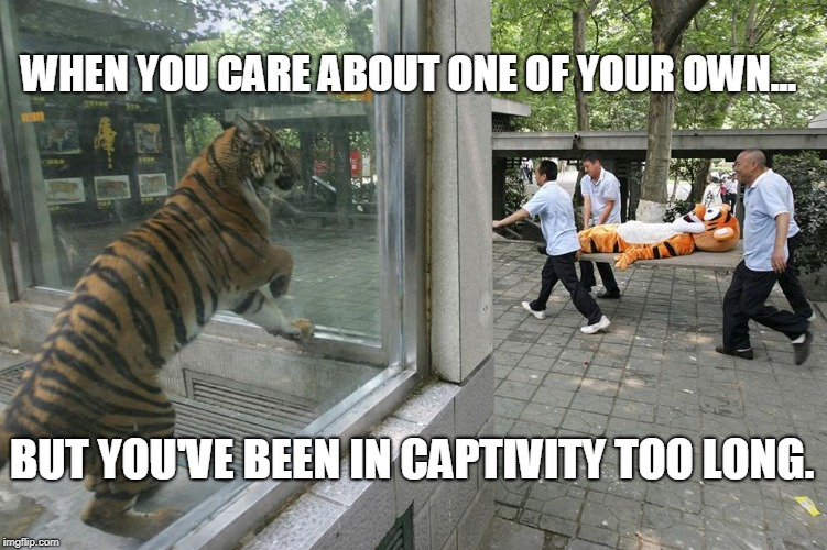 Tigger Down | WHEN YOU CARE ABOUT ONE OF YOUR OWN... BUT YOU'VE BEEN IN CAPTIVITY TOO LONG. | image tagged in disney,tigers,funny,winnie the pooh,animals | made w/ Imgflip meme maker