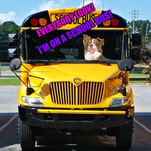 Chili the border collie driving a school bus | EVERYBODY LOOK! I'M ON A SCHOOL BUS! | image tagged in school bus,chili,chili the border collie,dogs,school,dogs driving buses | made w/ Imgflip meme maker