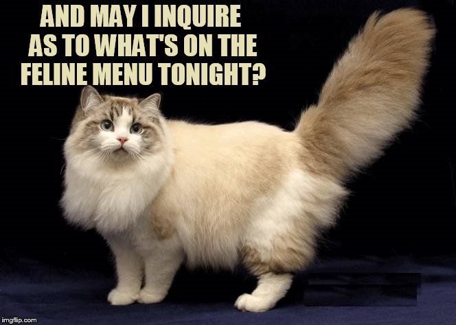 AND MAY I INQUIRE AS TO WHAT'S ON THE FELINE MENU TONIGHT? | made w/ Imgflip meme maker