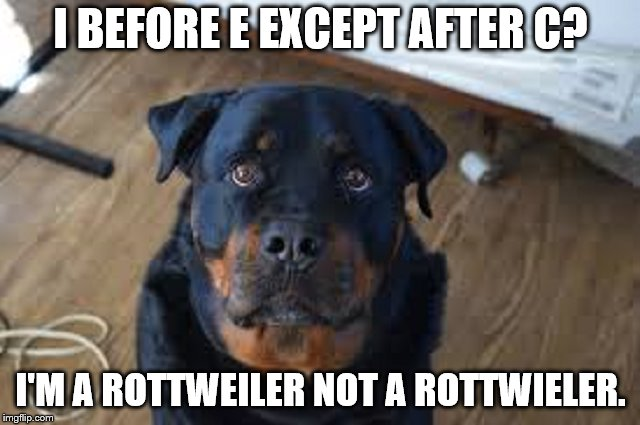 Orthographic dog. | I BEFORE E EXCEPT AFTER C? I'M A ROTTWEILER NOT A ROTTWIELER. | image tagged in rottweiler,proper spelling | made w/ Imgflip meme maker