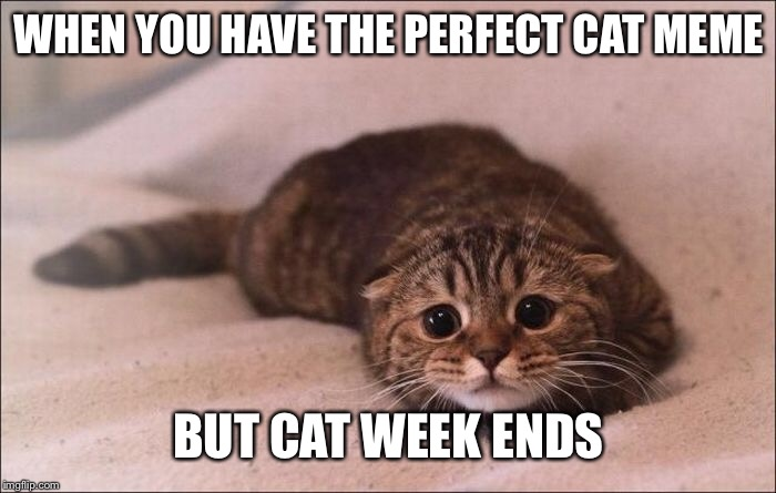 WHEN YOU HAVE THE PERFECT CAT MEME BUT CAT WEEK ENDS | image tagged in sad cat | made w/ Imgflip meme maker