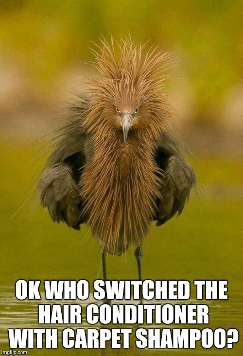 Who switched the hair conditioner?  | OK WHO SWITCHED THE HAIR CONDITIONER WITH CARPET SHAMPOO? | image tagged in funny bird,who switched the shampoo,pissed off bird | made w/ Imgflip meme maker