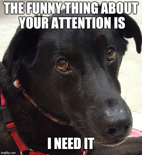 Black lab attention | THE FUNNY THING ABOUT YOUR ATTENTION IS I NEED IT | image tagged in dog,black lab,attention | made w/ Imgflip meme maker