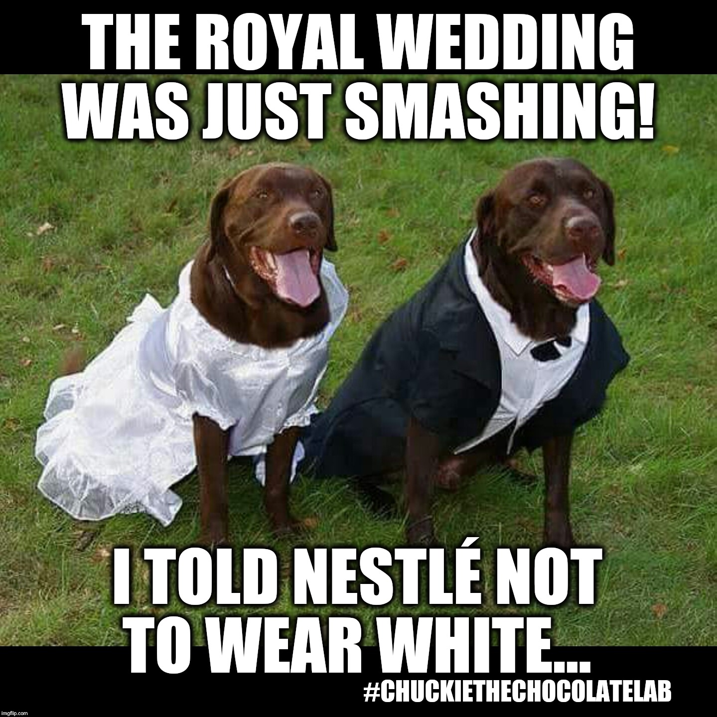 Royal wedding faux pas | THE ROYAL WEDDING WAS JUST SMASHING! I TOLD NESTLÉ NOT TO WEAR WHITE... #CHUCKIETHECHOCOLATELAB | image tagged in chuckie the chocolate lab teamchuckie,royal wedding,prince harry,funny,dogs,memes | made w/ Imgflip meme maker