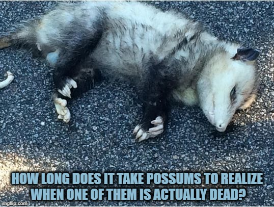 Possum | HOW LONG DOES IT TAKE POSSUMS TO REALIZE WHEN ONE OF THEM IS ACTUALLY DEAD? | image tagged in possum,funny,memes,funny memes | made w/ Imgflip meme maker