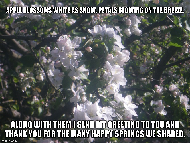 Apple Blossoms | APPLE BLOSSOMS WHITE AS SNOW, PETALS BLOWING ON THE BREEZE. ALONG WITH THEM I SEND MY GREETING TO YOU AND THANK YOU FOR THE MANY HAPPY SPRIN | image tagged in apple blossoms,snow,petals,the spring | made w/ Imgflip meme maker