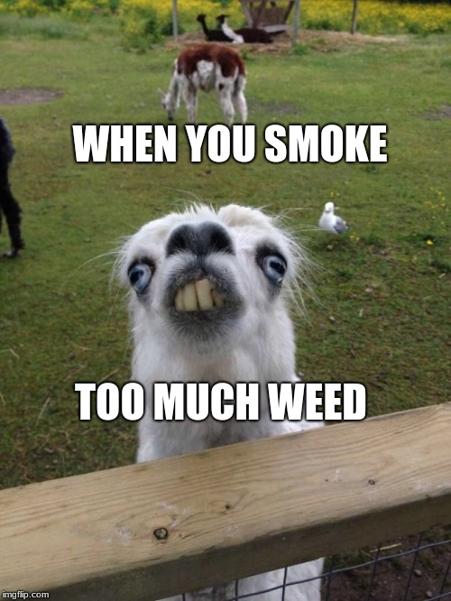 Llama weird face  | WHEN YOU SMOKE TOO MUCH WEED | image tagged in llama weird face | made w/ Imgflip meme maker