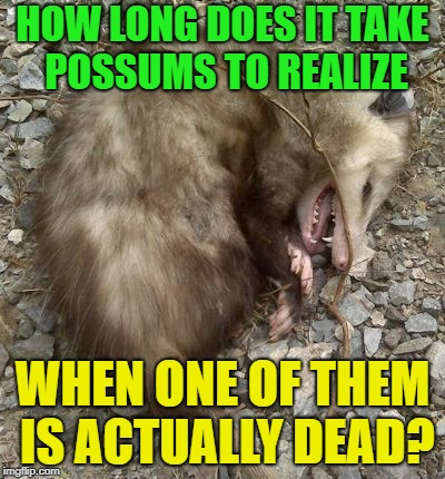 Playing Possum? | HOW LONG DOES IT TAKE POSSUMS TO REALIZE WHEN ONE OF THEM IS ACTUALLY DEAD? | image tagged in memes,funny,playing,dead | made w/ Imgflip meme maker