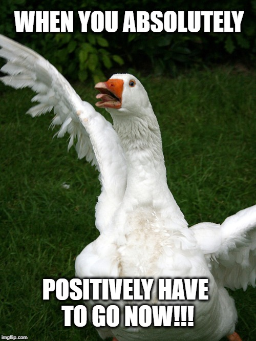 WHEN YOU ABSOLUTELY POSITIVELY HAVE TO GO NOW!!! | image tagged in goose,poop,incontinence,colonoscopy,now | made w/ Imgflip meme maker