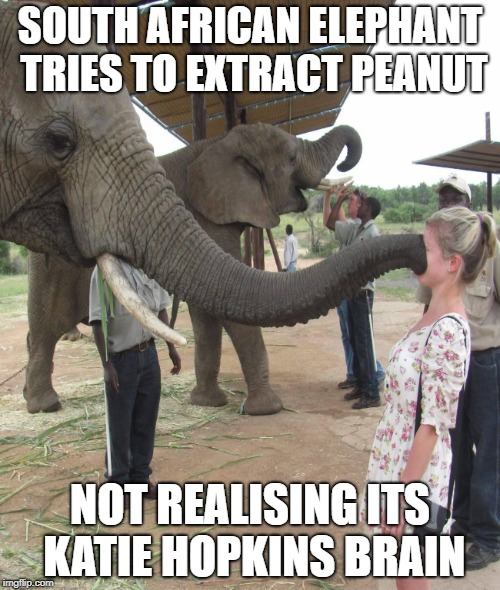 Peanut brain | SOUTH AFRICAN ELEPHANT TRIES TO EXTRACT PEANUT NOT REALISING ITS KATIE HOPKINS BRAIN | image tagged in katie hopkins,funny | made w/ Imgflip meme maker