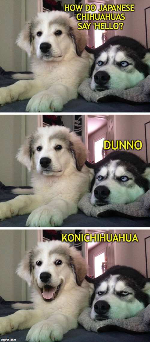 Bad pun dogs | HOW DO JAPANESE CHIHUAHUAS SAY 'HELLO'? DUNNO KONICHIHUAHUA | image tagged in bad pun dogs,chihuahua,japanese | made w/ Imgflip meme maker