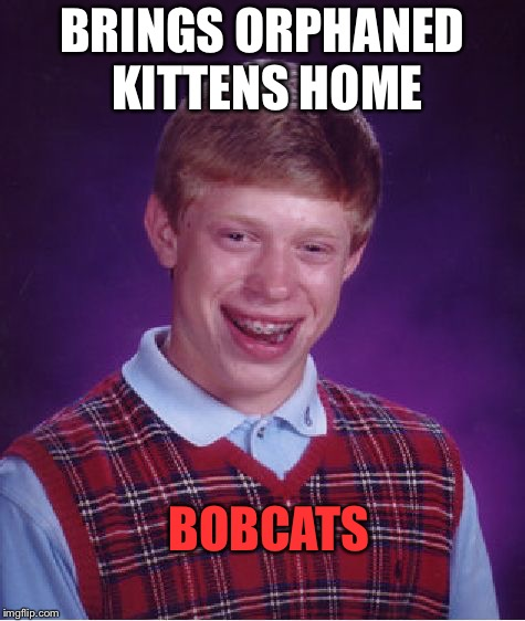 Better get some bandages. | BRINGS ORPHANED KITTENS HOME BOBCATS | image tagged in memes,bad luck brian,bobcat,funny | made w/ Imgflip meme maker