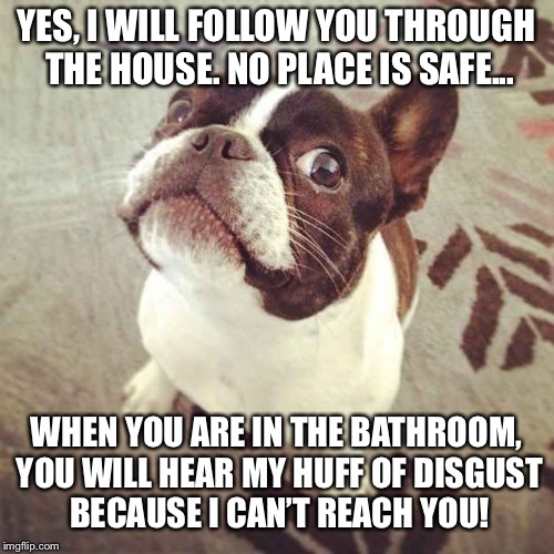 There is a stalker in my house.  No where is safe. | YES, I WILL FOLLOW YOU THROUGH THE HOUSE. NO PLACE IS SAFE... WHEN YOU ARE IN THE BATHROOM, YOU WILL HEAR MY HUFF OF DISGUST BECAUSE I CAN'T | image tagged in boston terrier,stalker,memes,dogs | made w/ Imgflip meme maker