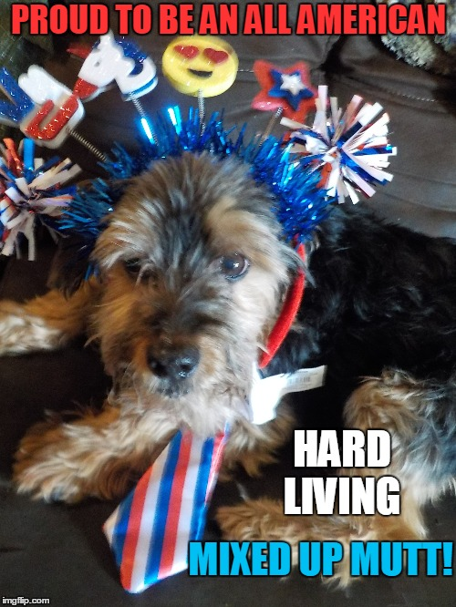 Mickey the All American Mutt! | PROUD TO BE AN ALL AMERICAN HARD LIVING MIXED UP MUTT! | image tagged in america,fourth of july,memorial day,dogs | made w/ Imgflip meme maker