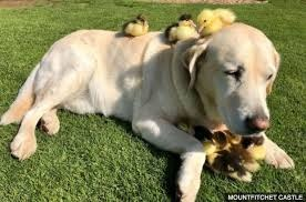 image tagged in dog and ducklings | made w/ Imgflip meme maker
