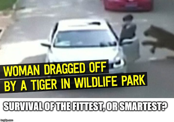 SURVIVAL OF THE FITTEST, OR SMARTEST? | image tagged in tiger takes woman,stupid woman | made w/ Imgflip meme maker