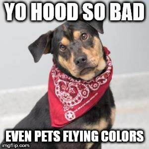 The OG D O G | YO HOOD SO BAD EVEN PETS FLYING COLORS | image tagged in pets,gang | made w/ Imgflip meme maker
