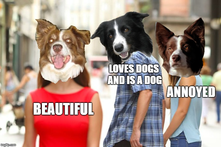 The border collie in the middle is distracted. | BEAUTIFUL LOVES DOGS AND IS A DOG ANNOYED | image tagged in memes,border collie,dogs,chili the border collie | made w/ Imgflip meme maker