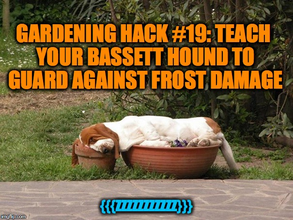 No Frost Cover For Your Newly Planted Posies? | GARDENING HACK #19: TEACH YOUR BASSETT HOUND TO GUARD AGAINST FROST DAMAGE {{{ZZZZZZZZZZZ}}} | image tagged in basset hound | made w/ Imgflip meme maker