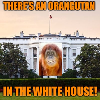 And he's going ape | THERE'S AN ORANGUTAN IN THE WHITE HOUSE! | image tagged in white house,memes,donald trump,orangutan,donald trump is an orangutan | made w/ Imgflip meme maker