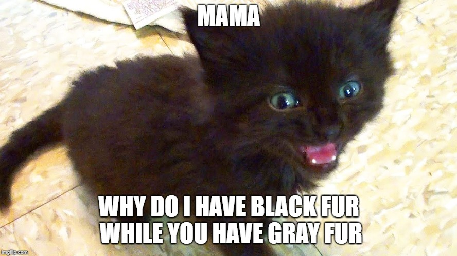 curious kitten  | MAMA WHY DO I HAVE BLACK FUR WHILE YOU HAVE GRAY FUR | image tagged in tiny black kitten,funny,cute kittens | made w/ Imgflip meme maker