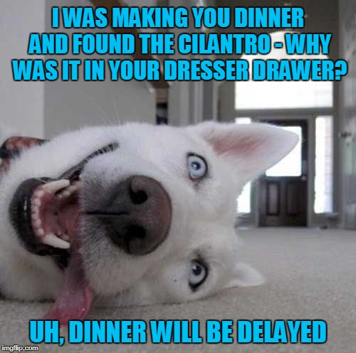 but I guarantee it will be fabulous | I WAS MAKING YOU DINNER AND FOUND THE CILANTRO - WHY WAS IT IN YOUR DRESSER DRAWER? UH, DINNER WILL BE DELAYED | image tagged in stoner dog,memes,dogs,stoned,dog | made w/ Imgflip meme maker