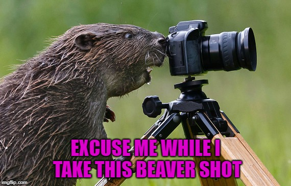 Always clean your beaver! | EXCUSE ME WHILE I TAKE THIS BEAVER SHOT | image tagged in beaver shot,memes,photography,funny,beavers,animals | made w/ Imgflip meme maker