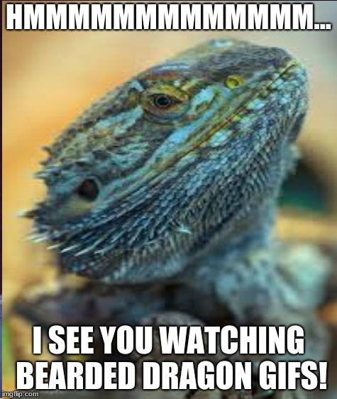 Bearded Dragon Memes Youtube