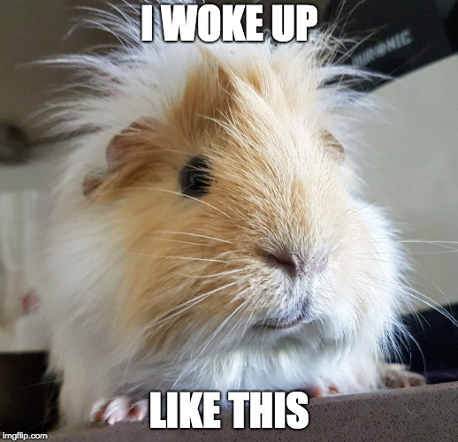 I woke up like this | I WOKE UP LIKE THIS | image tagged in guinea pig | made w/ Imgflip meme maker