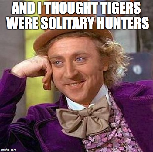 Creepy Condescending Wonka Meme | AND I THOUGHT TIGERS WERE SOLITARY HUNTERS | image tagged in memes,creepy condescending wonka | made w/ Imgflip meme maker