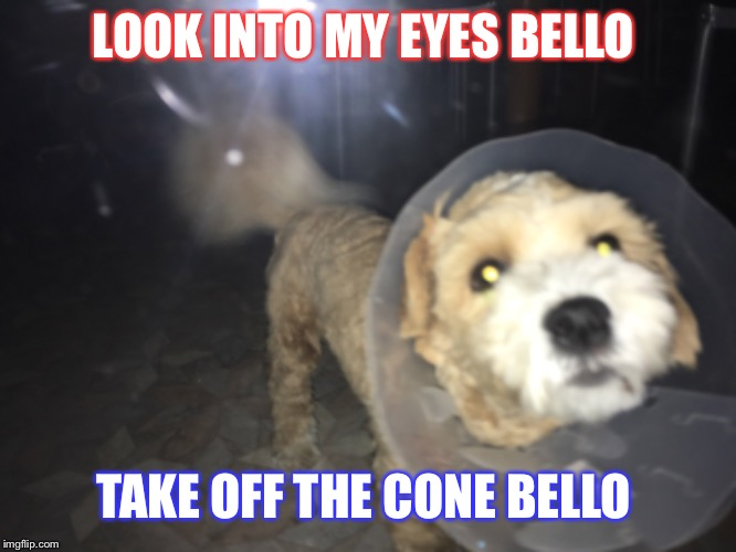 Pasquale vs Scooby | LOOK INTO MY EYES BELLO TAKE OFF THE CONE BELLO | image tagged in dog memes,conehead,italian,hypnotic | made w/ Imgflip meme maker