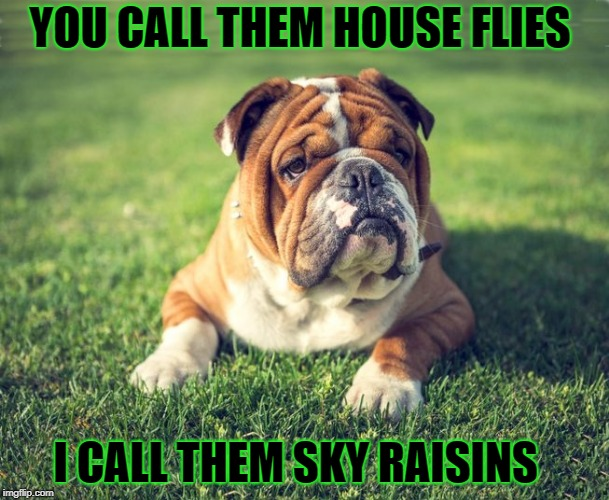 flies or raisins ? | YOU CALL THEM HOUSE FLIES I CALL THEM SKY RAISINS | image tagged in bulldog,flies,joke,skyraisins | made w/ Imgflip meme maker