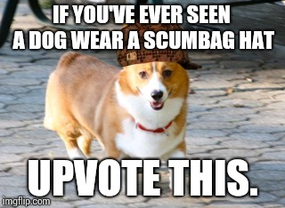 Chessie The Corgi | IF YOU'VE EVER SEEN A DOG WEAR A SCUMBAG HAT UPVOTE THIS. | image tagged in chessie the corgi,scumbag,corgi,dogs | made w/ Imgflip meme maker